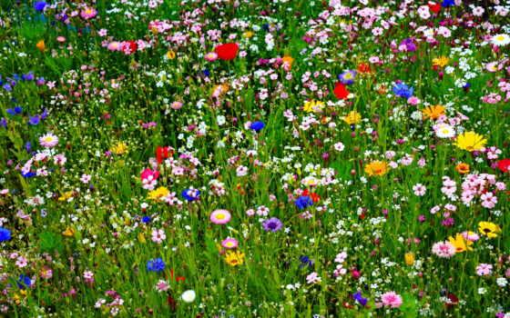 цветы, flora, поле, flores, природа, many, тюльпаны, slova, картинка, луг, лепестки,