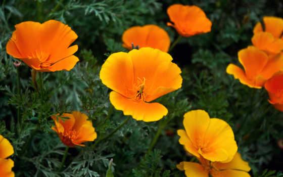 cvety, цветов, оранжевые, названия, оранжевый, садовых,