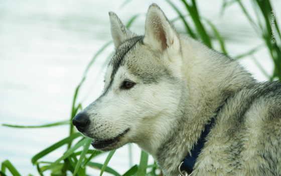 породы, хаски, собака, lobo, winter, lupus, волк, wisdom, abstract,
