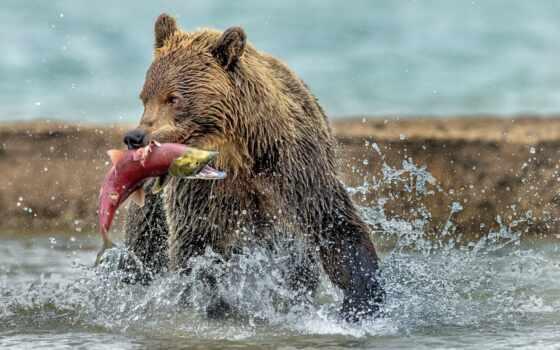 медведь, fish, water, red, catch, мишка, animal, extraction, wet
