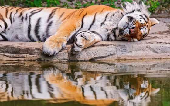 вода, тигр
