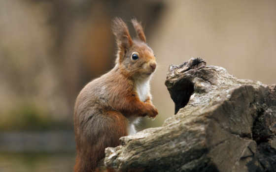 squirrel, животные