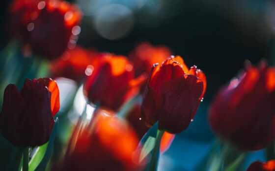 тюльпан, lovely, цветы, день, predposylka