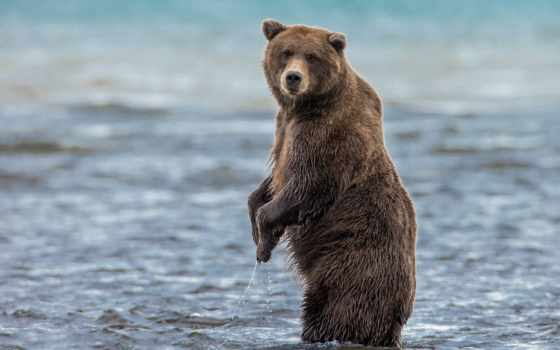 медведи, hintergrundbilder, kostenlose