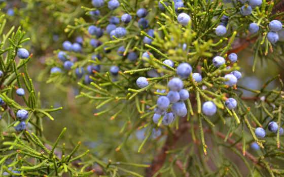 bush, можжевельник, ягоды