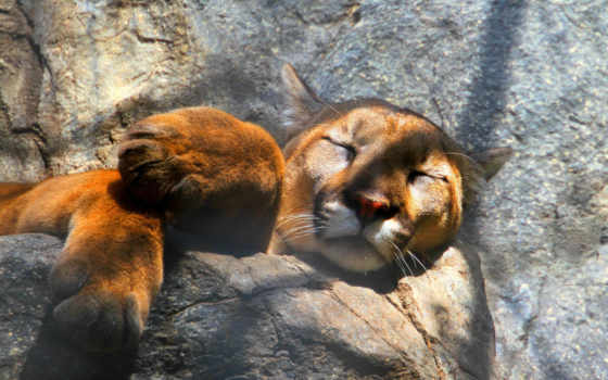 cougar, animal, puma