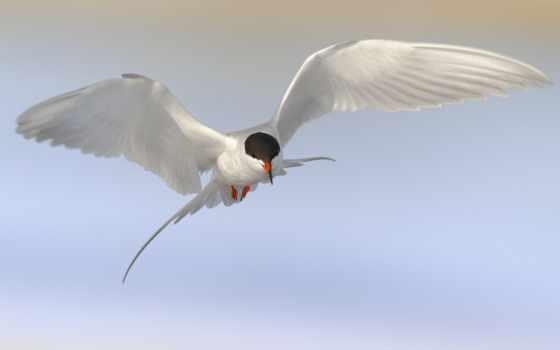 чайка, птица, полет
