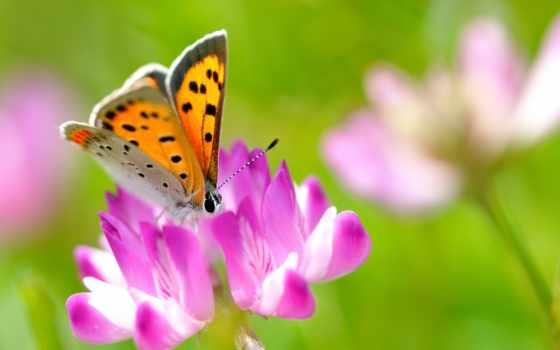 бабочка, насекомое, summer, розовый, цветы, макро, clover,