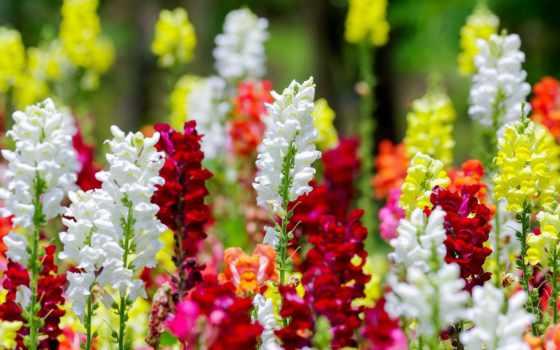 зев, львиный, snapdragon, цветы, растение, вечноцветущая, begonia, antirrhinum,