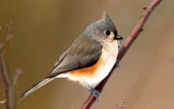 titmouse, птица, animal, high, tuft, плакат,, птица, клюв, tufted titmouse,