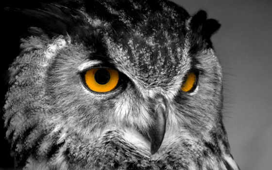 сова, совы, взгляд