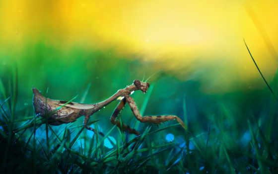 mantis, насекомое, любой