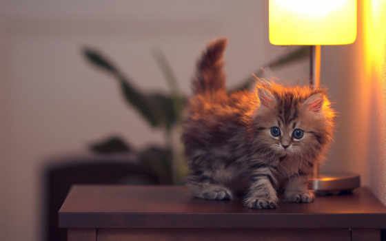 кошки, котенок, качестве