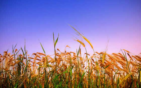 rye, поле, колосья, пшеница, summer, злаки, золотистые, небо, хлеб, сельское,