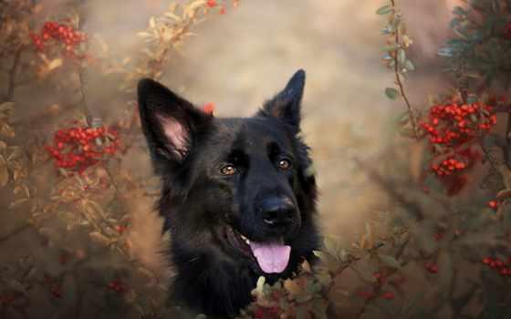 овчарка, немецкая, собака, dhgate, друг, diy, купить, природа, paste,
