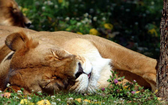 sleeping, lion