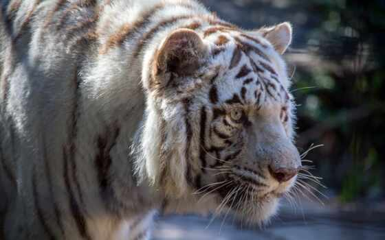 тигр, desktop