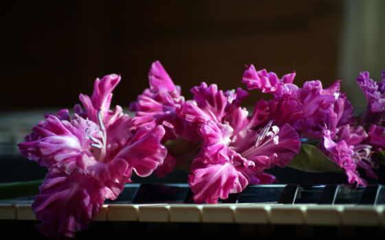 розовые, гладиолусы, цветы