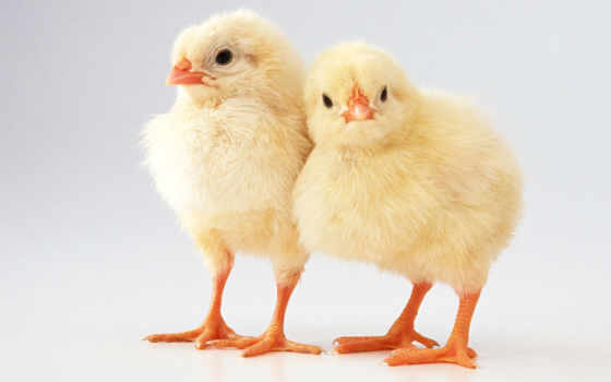цы, цыпа, kesha, часть, июл, цыпой, курица, товар, объекты, некогда,