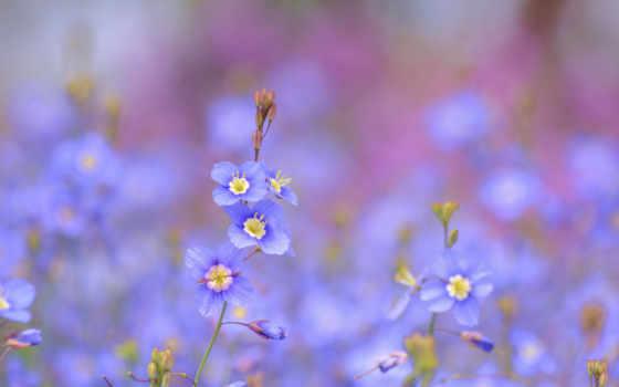 cvety, голубые, flowers, синие, желтые, весны, blue, полевые, розовые, розы, колосья,