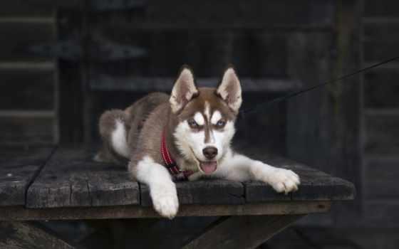 tapety, хаски, собака, siberian, щенок, pies, pulpit,
