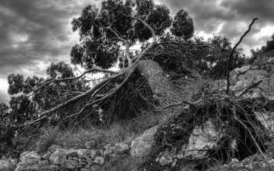 дерево, упавшее, чёрнобелый, корень, кадр, картинка,