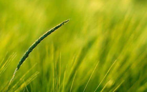 nature, поле, пшеница
