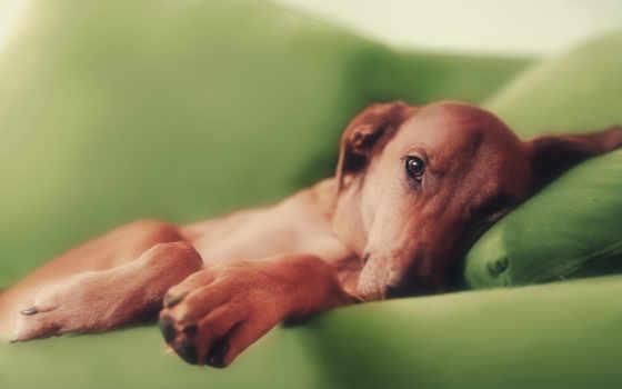 собак, собака, рыжая, колени, лапы,