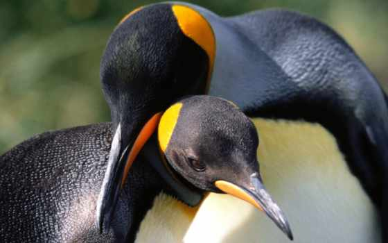 пингвины, обнимаются, пингвина