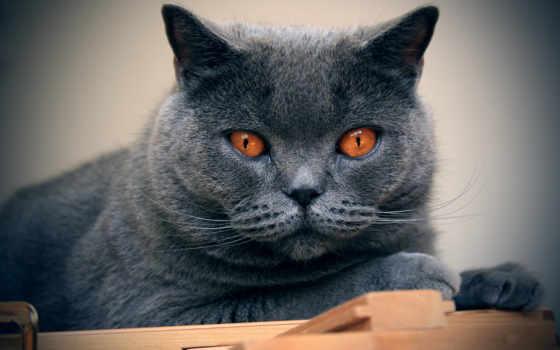 шартрез, кошка, картезианская
