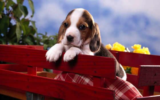 щенок, beagle, бигля