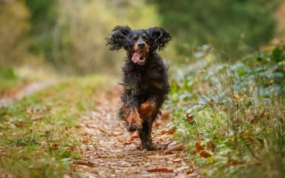собака, листва, осень, бежит, desktop, радостная, безмолвие, лесу, дек,
