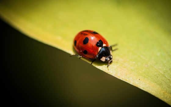 ladybug, насекомое, desktop, квадро, high, телефон,