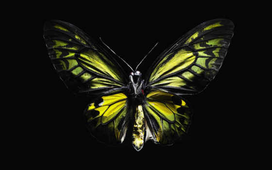 бабочка, черном