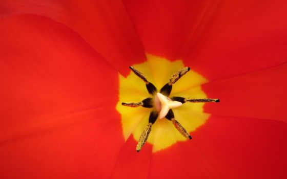 красный, алый, цветок, лепестки, пестик, тюльпан, тычинки,