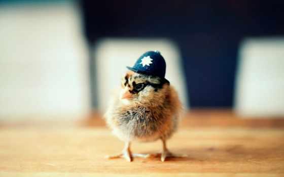 , ципленок, шляпа, жандарм, курица, police,