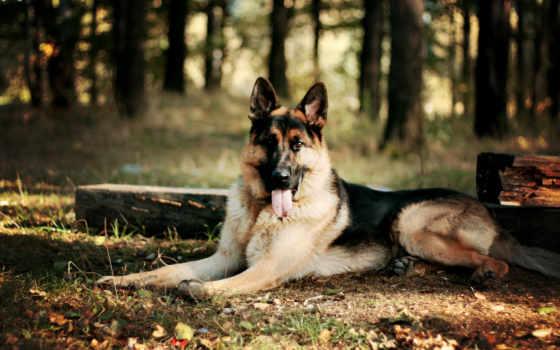 овчарка, немецкая, собаки, собака, сидит, лесу,