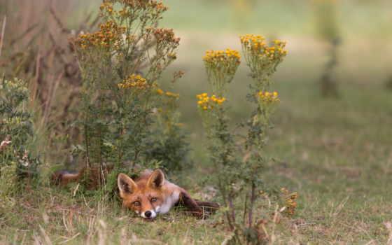 фокс, лисы, zhivotnye, морда, хищник, страница, zoom, трава,