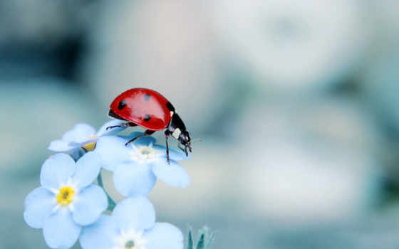 коровка, божья, макро, красивые, цветке, blue, фотографий, цветы, ассорти,