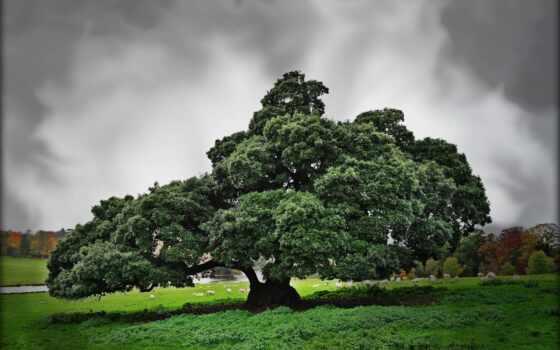 дерево, природа, дуб, clouds, sheep, поле, landscape, овцы,