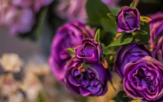 ,, цветок, цветковое растение, лепесток, пурпур, garden roses, floribunda, роза, rose family,