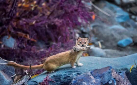 weasel, animal, dimension, зверек, rare, индонезийский, гора, нежность, solonga, slim