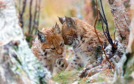 рысь, кот, wild, пара, природа, два, рысенок, нежность, осень, корзина, авторские
