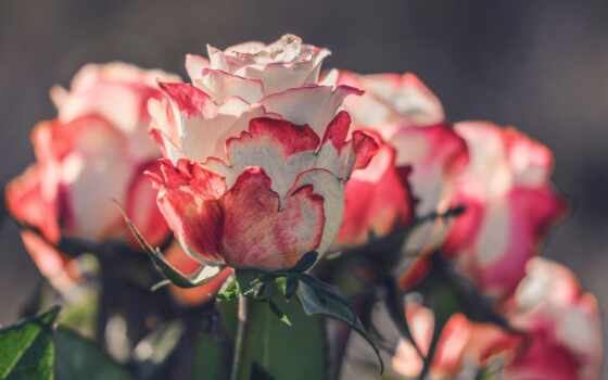 роза, цветы, irina, доктор, time