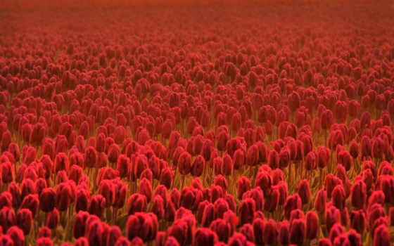 cvety, цветы, summer, тюльпаны, цветки, высоком, весна, базе, красные, качестве,