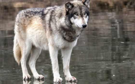 волк, хищник, животные