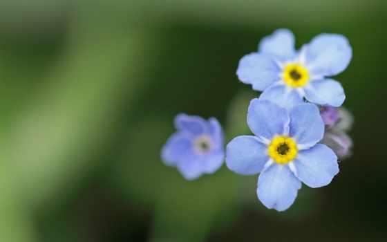 цветы, незабудки, голубые