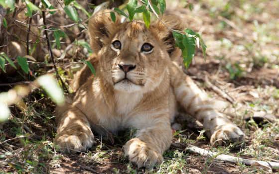 сафари, день, lion, львенок, samburu, kenya, отдых, olivier, nairobi, this,