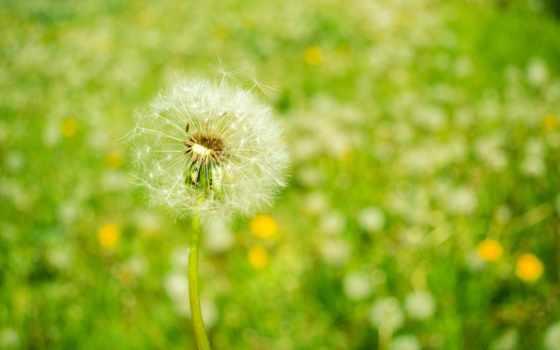природа, одуванчик, весна, цветы, favourite,
