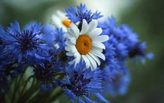 васильки, cvety, полевые, ромашки, букет, поле,